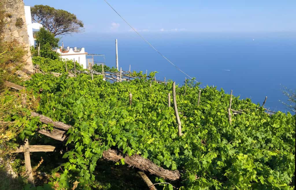 Vitigni antichi allevati a pergola in costiera amalfitana presso Marisa Cuomo