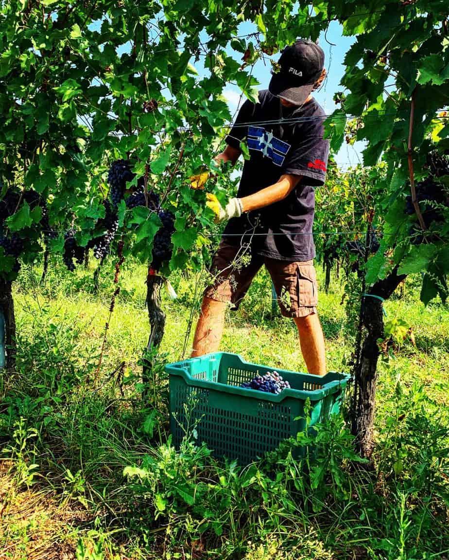 Inserrata Organic Farm, vendemmia