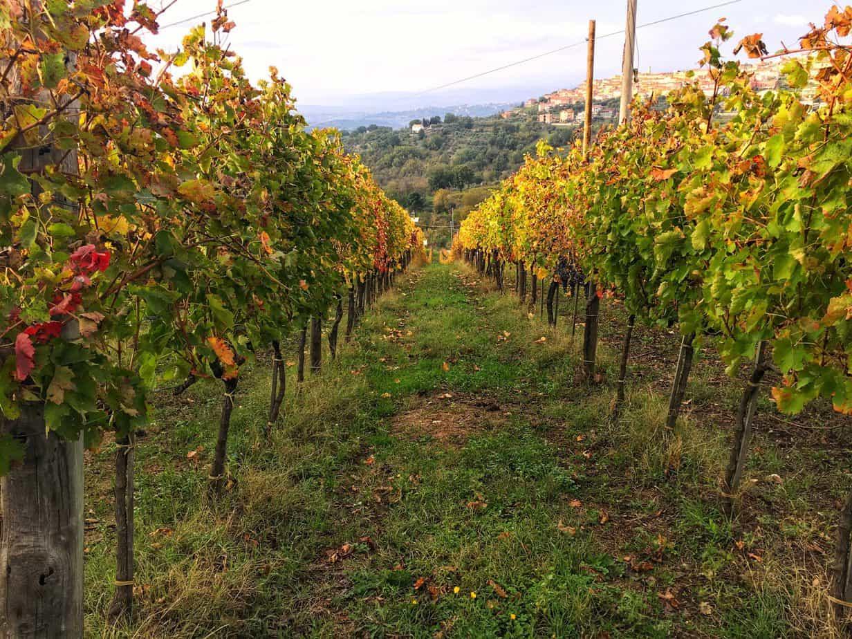 Veduta della vigna della Tenuta Cavalier Pepe a Luogosano (AV)