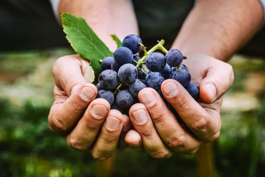Resveratrolo e Covid-19, la cura del vino rosso e del taurasi