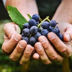 La Cura del Vino Rosso: Resveratrolo, un alleato nella lotta al COVID-19