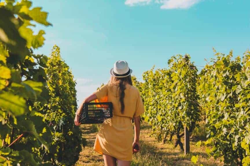 Vendemmia in Vigna e Agricoltura Biologica