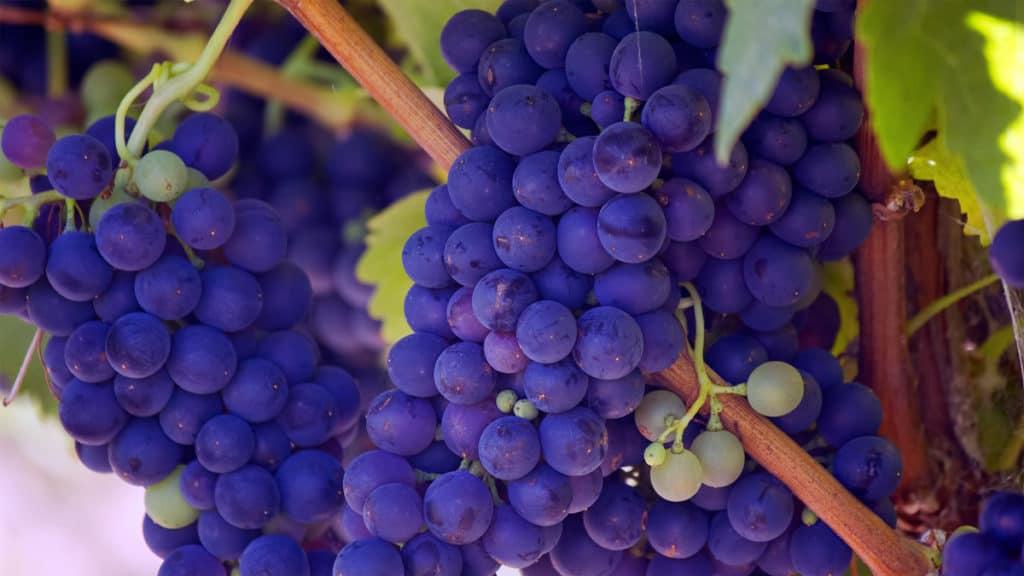 Quando il Vino sa di Aceto